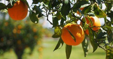 strom s pomeranči